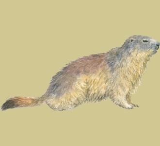 Recueillir un animal de la montagne d'espèce marmotte