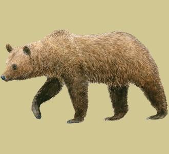 Recueillir un animal de la montagne d'espèce ours brun