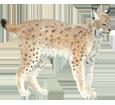 Lynx ##STADE## - robe 29