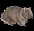 Wombat ##STADE## - robe 52