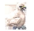 Faucon pèlerin bébé - robe 29