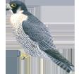 Faucon pèlerin adulte - robe 29
